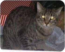 Domestic Shorthair Cat for adoption in Breinigsville, Pennsylvania - Lilly