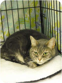 Domestic Shorthair Cat for adoption in Mission, British Columbia - Squish