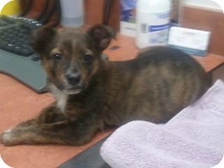 Australian Shepherd/Doberman Pinscher Mix Puppy for adoption in Arlington, Texas - Spirit