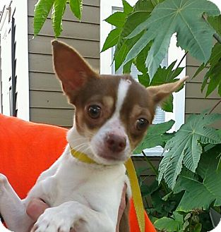 Chihuahua Dog for adoption in St. Petersburg, Florida - Chip