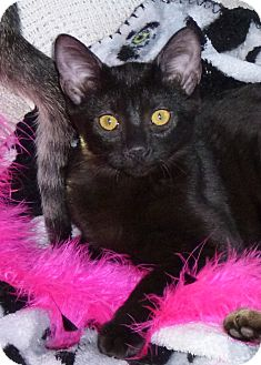 Domestic Shorthair Kitten for adoption in Seattle c/o Kingston 98346/ Washington State, Washington - Venus