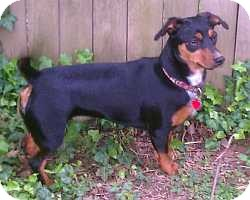 Miniature Pinscher/Dachshund Mix Dog for adoption in Nashville, Tennessee - Ivy