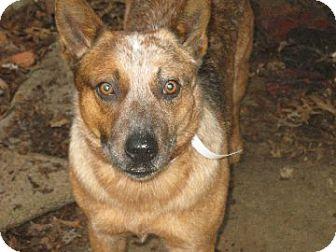 Australian Cattle Dog/Blue Heeler Mix Dog for adoption in Marietta, Georgia - Preston