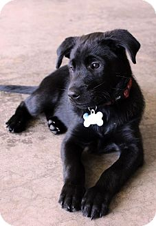 Labrador Retriever Mix Puppy for adoption in Overland Park, Kansas - Soho