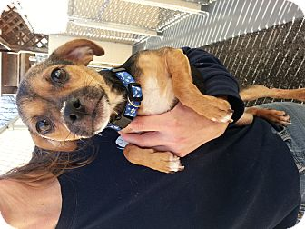 Chihuahua/Pug Mix Puppy for adoption in Kimberton, Pennsylvania - Rocky