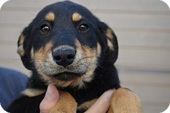 Rottweiler Mix Puppy for adoption in Westminster, Colorado - Gemma