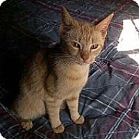 Adopt A Pet :: Ginger - Port Republic, MD