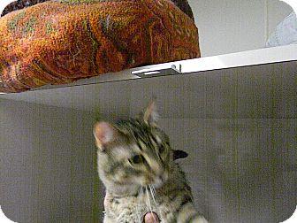 Domestic Shorthair Cat for adoption in Indianola, Iowa - C14