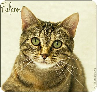 Domestic Shorthair Cat for adoption in Washburn, Wisconsin - Falcon