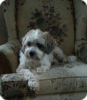 Lhasa Apso Mix Dog for adoption in Hazel Park, Michigan - Bella