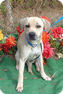 Beagle/Labrador Retriever Mix Dog for adoption in Marietta, Georgia - PICKLES (R)