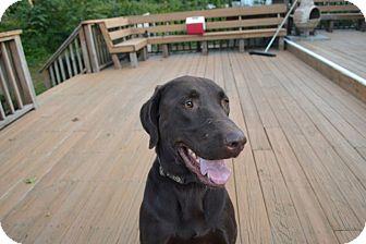 Labrador Retriever Dog for adoption in Deer Park, New York - Kobe