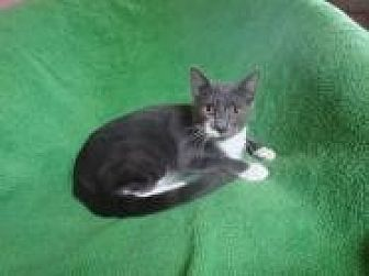 Egyptian Mau Cat for adoption in Sarasota, Florida - Blake