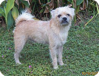 Pug/Shih Tzu Mix Dog for adoption in Mary Esther, Florida - Pascale