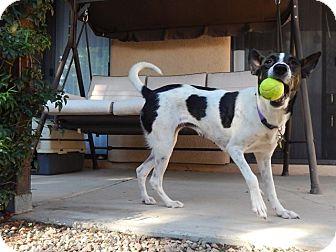 Border Collie Mix Dog for adoption in Tempe, Arizona - Jitter Bug