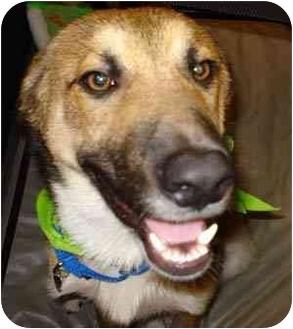 Collie/German Shepherd Dog Mix Puppy for adoption in Houston, Texas - Sunny