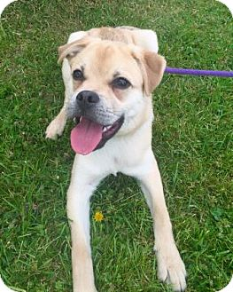 Pug Mix Dog for adoption in Hendersonville, North Carolina - Tater