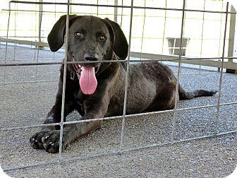 Labrador Retriever/Plott Hound Mix Dog for adoption in Marlinton, West Virginia - Brad--RESCUED!