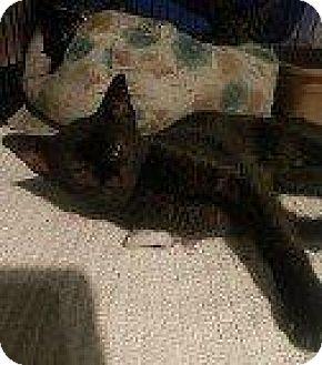 Domestic Shorthair Kitten for adoption in Hampton, Virginia - LEELUU