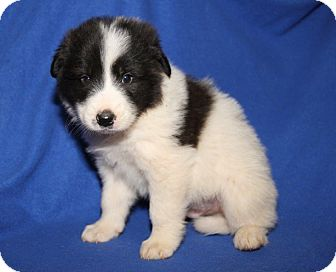 Great Pyrenees/Golden Retriever Mix Puppy for adoption in Orland Park, Illinois - BM1 (Male)