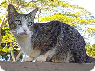 Domestic Shorthair Cat for adoption in Sacramento, California - Tango