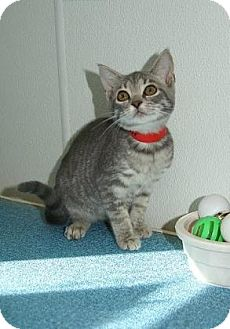 Domestic Shorthair Kitten for adoption in Englewood, Florida - Munch