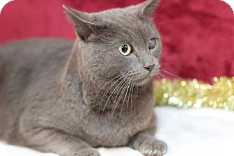 Domestic Shorthair Cat for adoption in Midland, Michigan - Kringle - STRAY