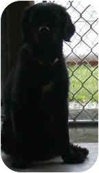 Clumber Spaniel Mix Dog for adoption in West Warwick, Rhode Island - Montley