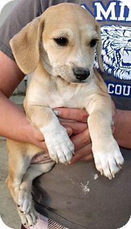 Beagle/Dachshund Mix Puppy for adoption in Corona, California - HOLLY