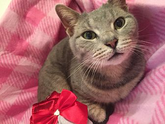 Domestic Shorthair Cat for adoption in Bryn Mawr, Pennsylvania - Gracie/ affectionate lap cat