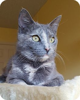 Domestic Shorthair Cat for adoption in Huntsville, Alabama - Dillia
