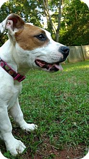 Pit Bull Terrier/Dachshund Mix Puppy for adoption in Atlanta, Georgia - Ella