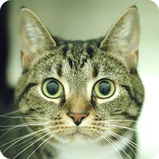 Domestic Shorthair Cat for adoption in Hilliard, Ohio - Princess