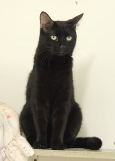 Domestic Shorthair/Domestic Shorthair Mix Cat for adoption in Westville, Indiana - Jasper