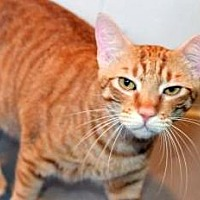 Adopt A Pet :: Tigger - Vancouver, WA