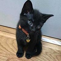 """Adopt A Pet :: Maddie's Kitten """"Iceman"""" - Washington, DC"""