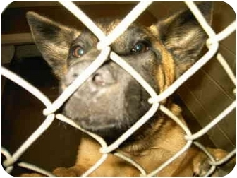 Shepherd (Unknown Type) Mix Dog for adoption in Lyman, South Carolina - Lionel(in kill shelter)