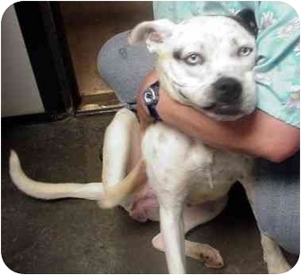 Boxer/Dalmatian Mix Dog for adoption in Manassas, Virginia - sapphire