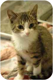 Domestic Shorthair Kitten for adoption in Walker, Michigan - Ash