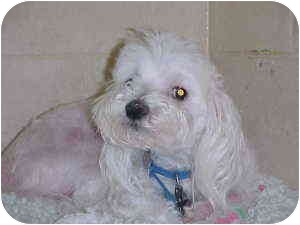 Maltese Mix Dog for adoption in Gladwin, Michigan - Stevie