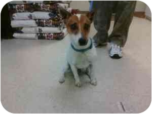 Jack Russell Terrier Dog for adoption in Omaha, Nebraska - Foster