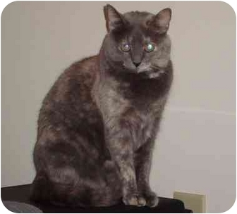 Domestic Shorthair Cat for adoption in Newburgh, Indiana - Ellie