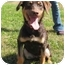Photo 1 - Doberman Pinscher/Labrador Retriever Mix Puppy for adoption in Florence, Indiana - Sierra