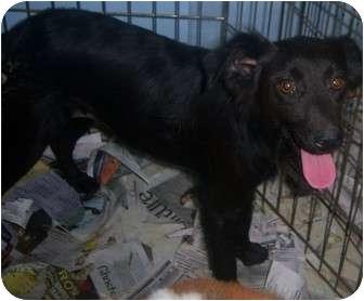 Spaniel (Unknown Type) Mix Dog for adoption in Richmond, Virginia - Raven