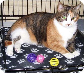 Domestic Shorthair Cat for adoption in Somerset, Pennsylvania - Trisha