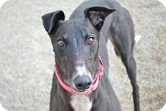Greyhound Dog for adoption in Chagrin Falls, Ohio - Mimi (Pat C Look At Me)