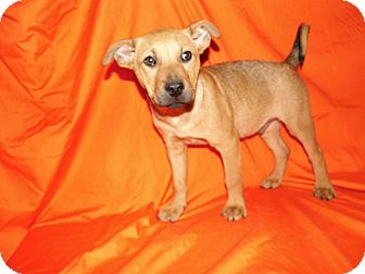 Boxer/German Shepherd Dog Mix Puppy for adoption in Bel Air, Maryland - Cecil (Reduced Adoption Fee)