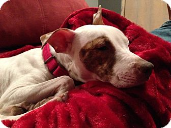 American Staffordshire Terrier Mix Dog for adoption in Long Beach, New York - Cortana