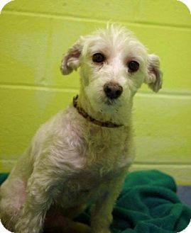 Poodle (Miniature) Mix Dog for adoption in East Hanover, New Jersey - Titan