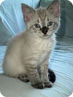 Domestic Shorthair Kitten for adoption in Marietta, Georgia - Buttercup
